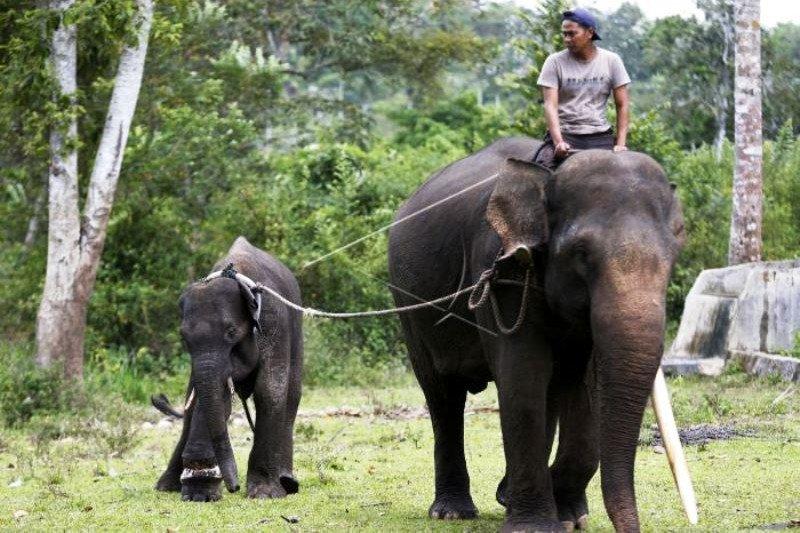 Penyelamatan Gajah Sumatera