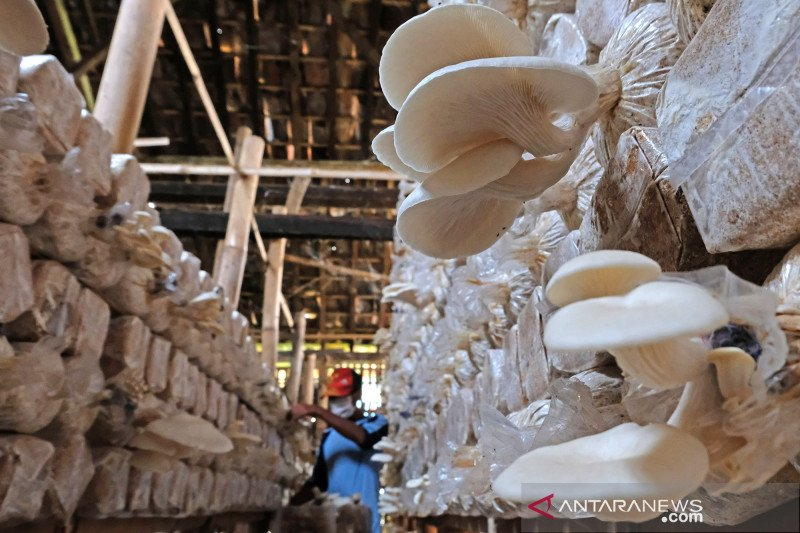 Produksi jamur tiram meningkat di musim penghujan