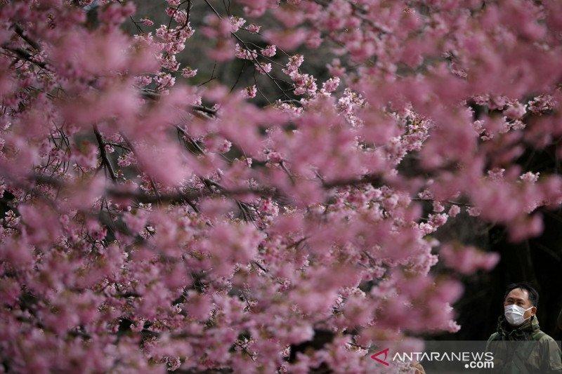Gubernur Tokyo Minta Warga Nikmati Keindahan Sakura Tahun Depan Saja Antara News Sulawesi Tenggara