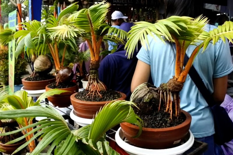 Kampung Tematik Kelola Bonsai Pohon Kelapa Antara News Sumatera