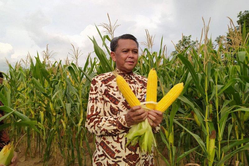 Gubernur Sulsel panen jagung varietas NA di Soppeng