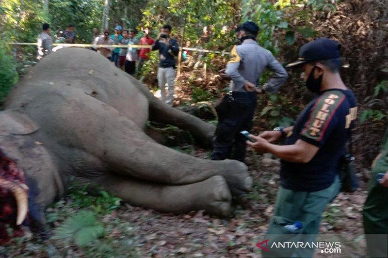 Gajah sumatera yang terpisah dari rombongannya dibunuh di Riau
