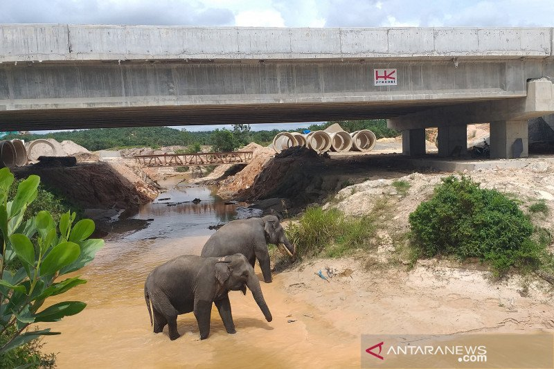 Penampakan gajah melintas di terowongan tol Sumatera