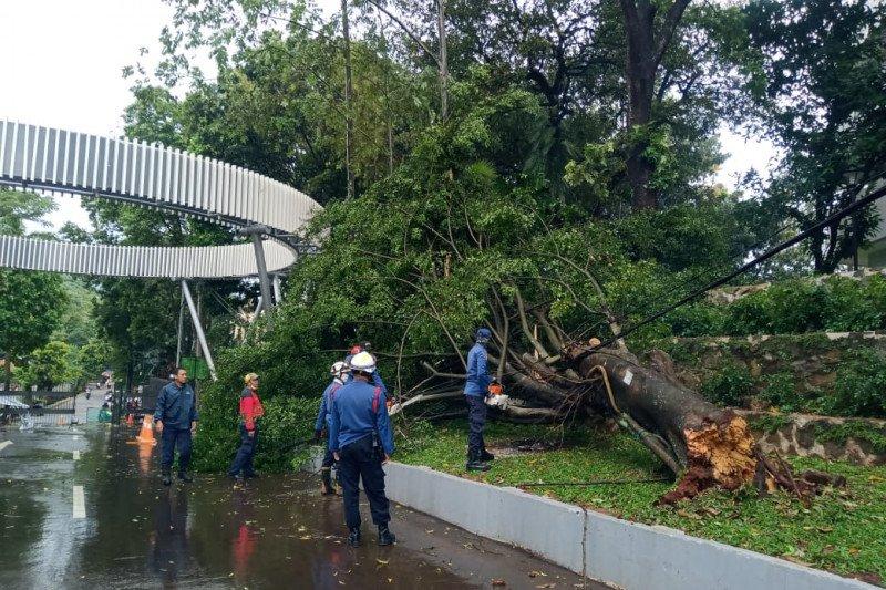 Damkar Jaksel evakuasi pohon beringin tumbang