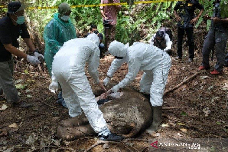 Seekor anak gajah Sumatera mati di Aceh Jaya