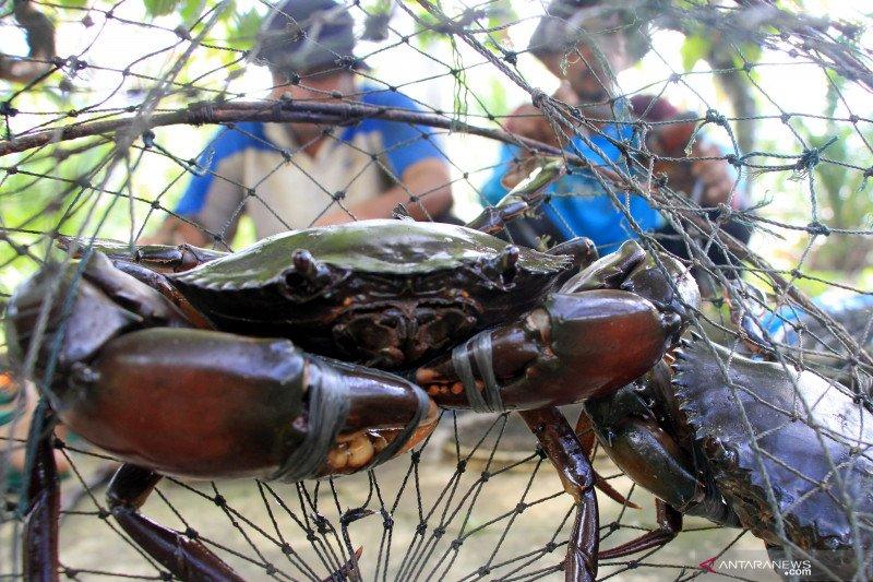 Nelayan kepiting bakau di Aceh Barat