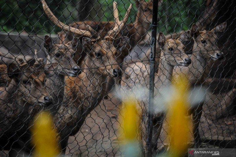 Bila tak ada bantuan, rusa koleksi Bandung Zoo akan jadi pakan