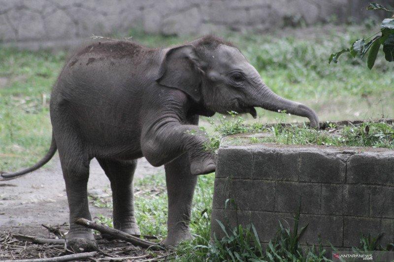 Kelahiran anak gajah sumatera