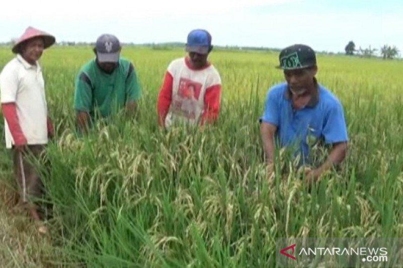 Penajam Paser Utara batal cetak sawah baru 1.000 hektare akibat corona
