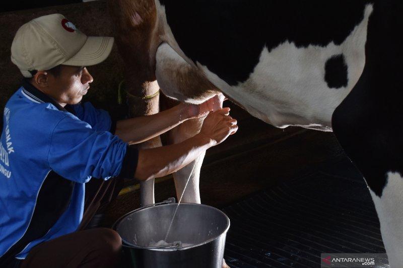 Usaha sapi perah dinilai dapat atasi dampak corona