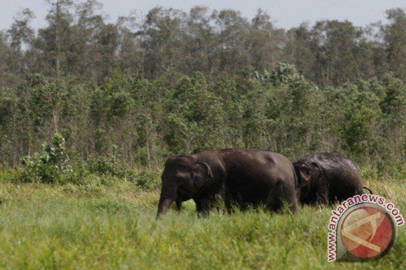 15 gajah liar rusak rumah dan kebun warga Bengkalis Riau