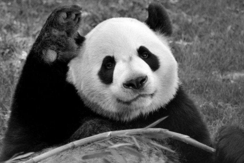 Panda di Kanada dikembalikan ke China karena masalah pakan