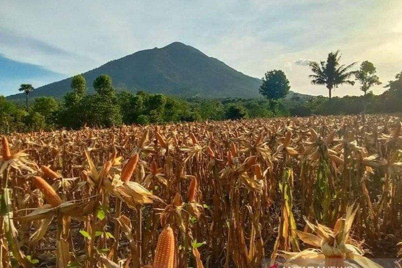 NTT alokasikan anggaran Rp25 miliar kembangkan jagung 10.000 hektare