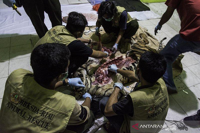 BBKSDA Riau periksa perusahaan dalam penyelidikan kematian harimau
