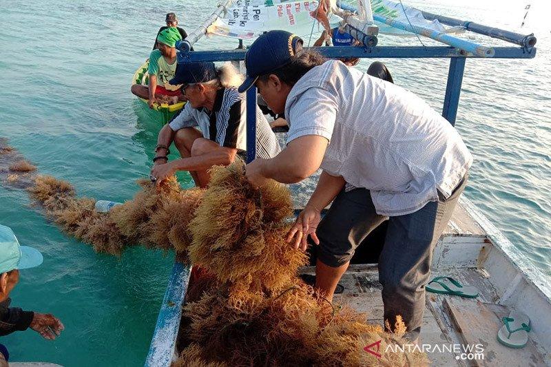 Asosiasi harap normal baru bisa tingkatkan produksi rumput laut