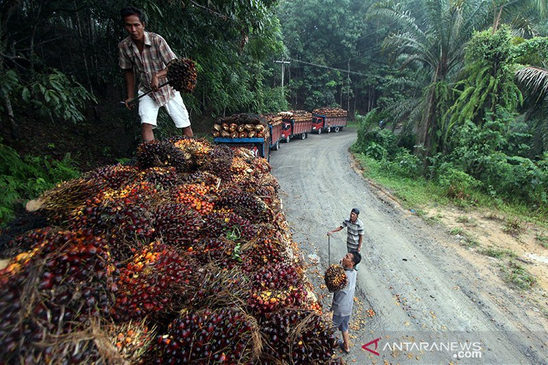 Apkasindo: Harga tbs kelapa sawit di Pesisir Selatan membaik