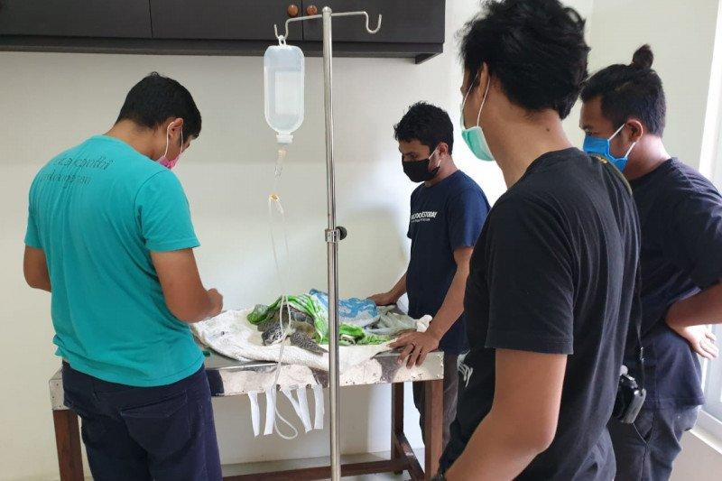 Banyak penyu mati di Bali diduga karena cuaca ekstrim