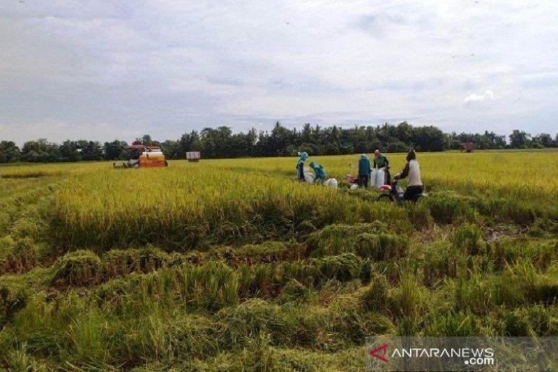Hujan dan angin kencang ancam produksi padi siap panen di Sultra