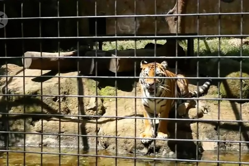 Bandung Zoo kekurangan dana, rusa terancam jadi pakan harimau