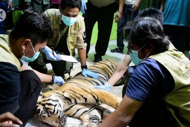 Harimau Sumatera mati terkena jerat, BKSDA kejar pelaku