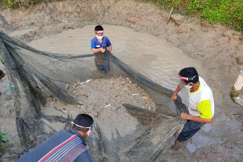 Peternak ikan binaan Pertagas panen bibit patin senilai Rp7 juta/panen