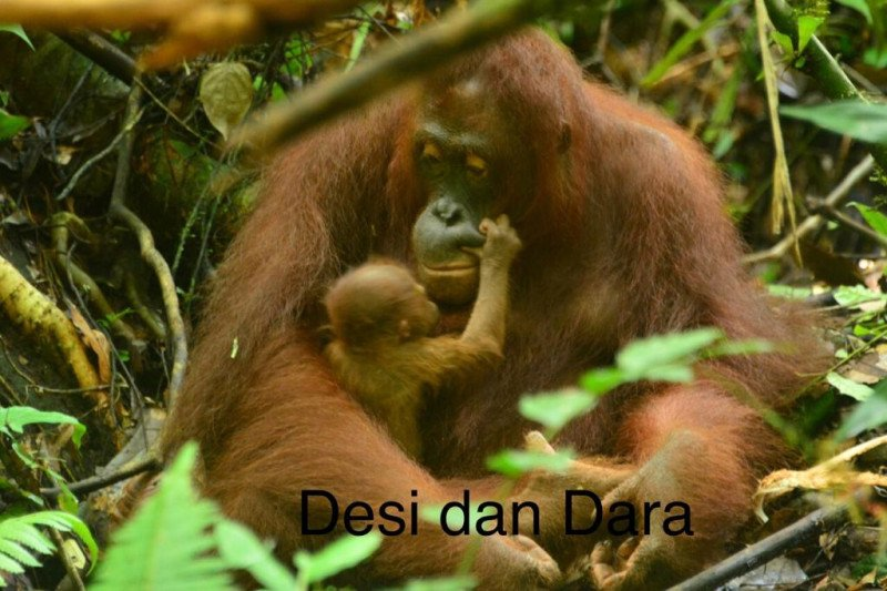 Menteri LHK beri nama bayi orangutan rehabilitan di Kalteng