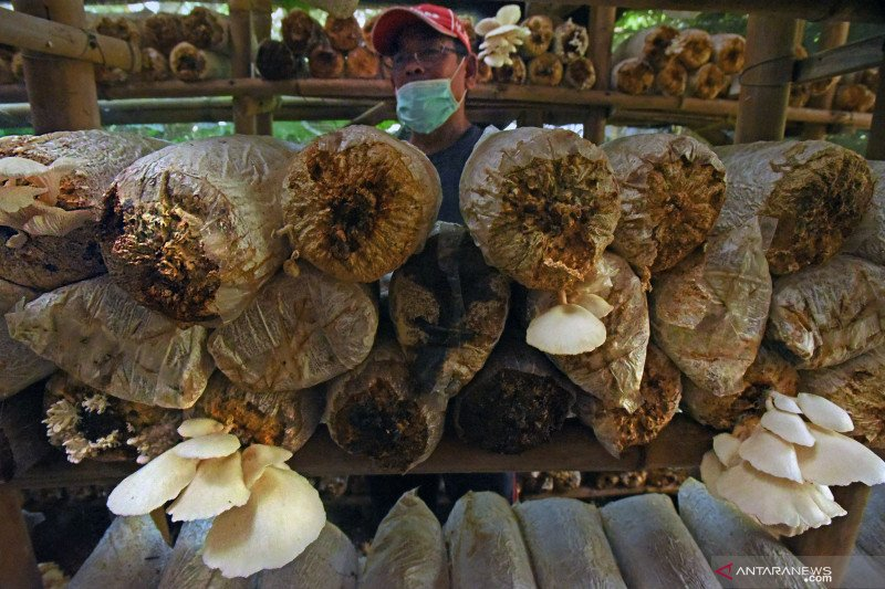Bisnis jamur tiram eksis di masa pandemi