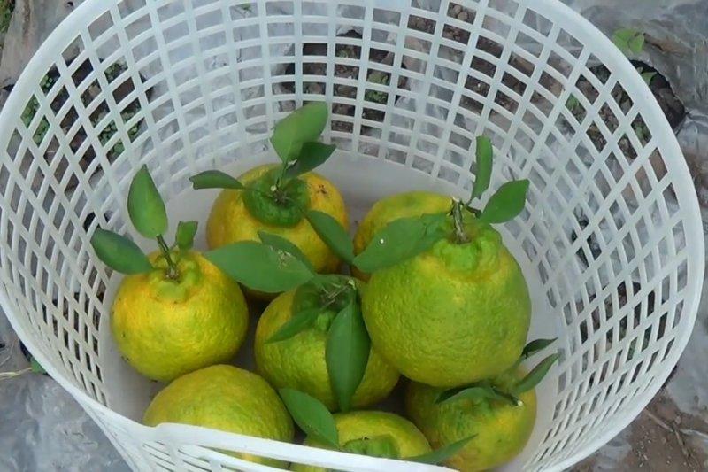 Warga Magetan budidaya jeruk dekopon beromset puluhan juta rupiah