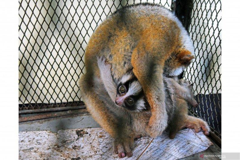 BKSDA Banten amankan empat ekor hewan dilindungi dari pedagang online