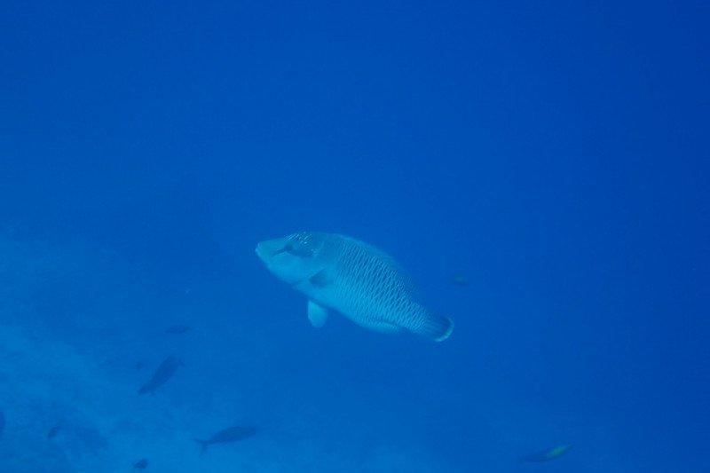 Ini makna kemunculan ikan napoleon di kawasan konservasi pulau Pieh