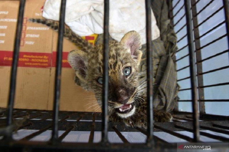 Selundupkan bayi singa Afrika, pelaku divonis 4 tahun kurungan