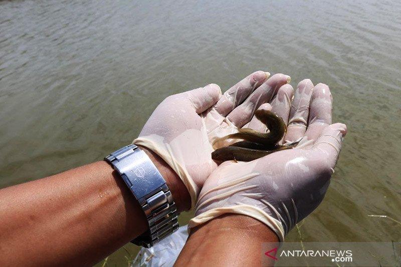 KKP lestarikan spesies asli ikan oliv yang endemik di Merauke