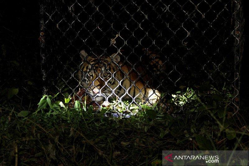 Harimau lepas di Singkawang dilumpuhkan dengan peluru tajam