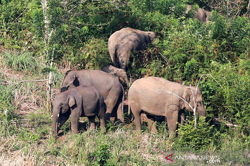 Kawanan gajah liar terjebak di area perkebunan di Aceh Utara