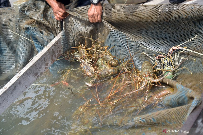 Akademisi rekomendasikan langkah percepatan industri budidaya lobster