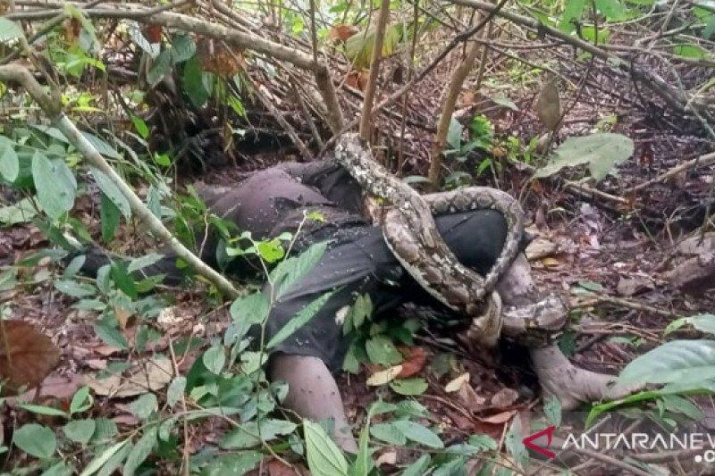 Seorang warga Suku Anak Dalam tewas dililit ular piton