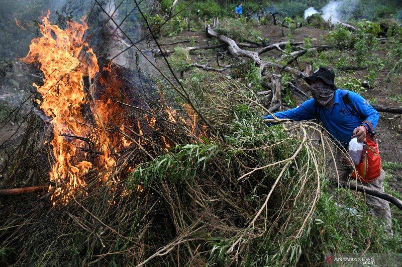 Pemusnahan ladang ganja di Aceh
