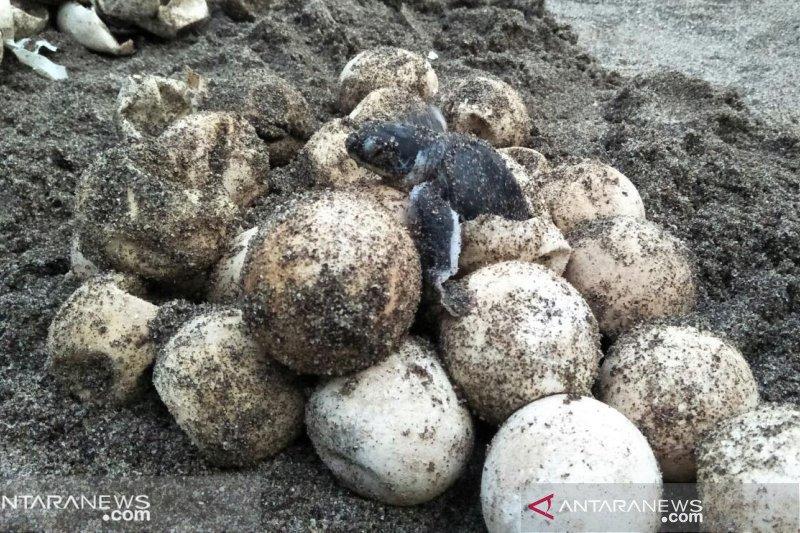 Warga serahkan 44 telur penyu lekang ke Jambak Sea Turtle Camp