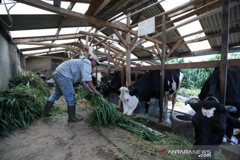Kandang sapi peternak direnovasi tingkatkan produktivitas susu