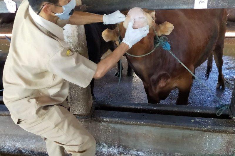 Sepekan, hewan kurban jumlahnya menurun hingga waspada Gunung Merapi