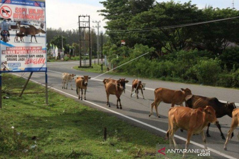 Sapi jadi ancaman kecelakaan pengguna jalan di Aceh Jaya