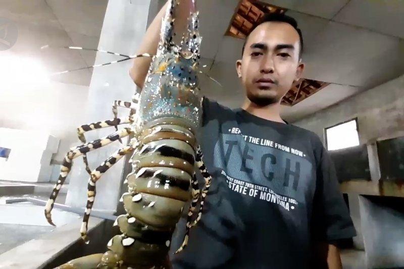 Geliat budi daya lobster air laut di Puger Jember