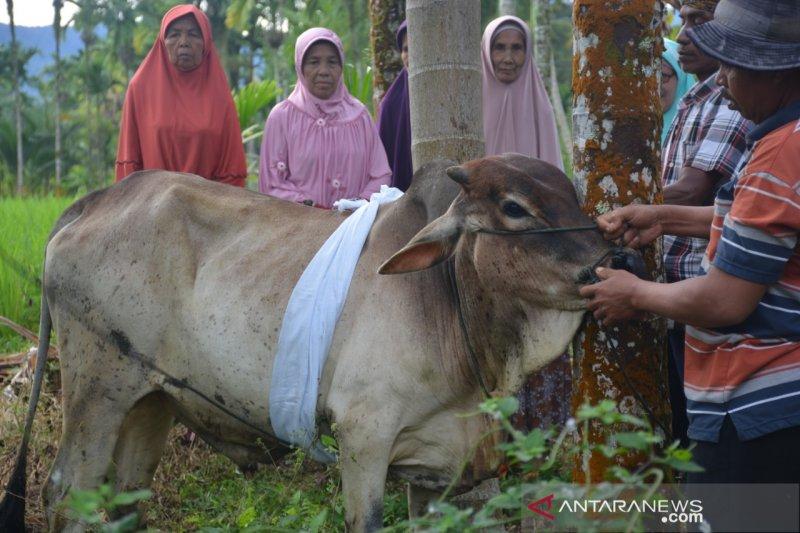 Warga Agam dandani hewan kurban sebelum disembelih