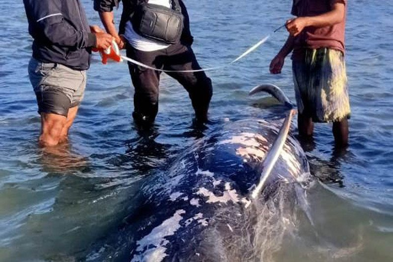 Paus pilot terdampar dan mati di kawasan pantai Sabu Raijua