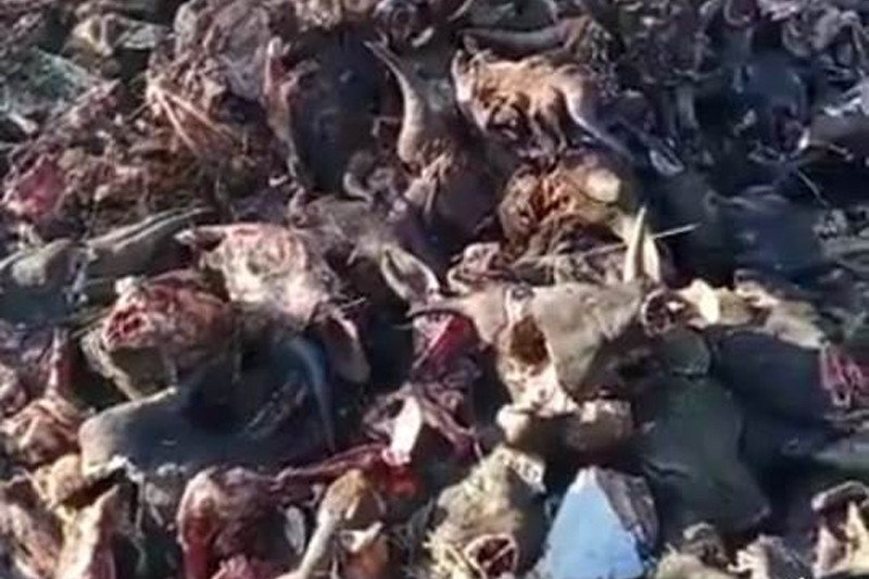 Buang bangkai ratusan kepala sapi sembarangan, Dua pria ditahan polisi