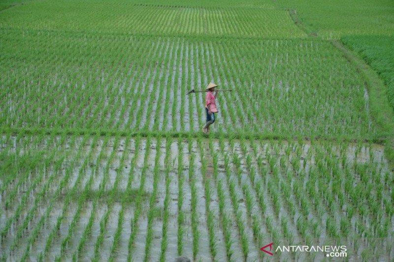 Tumbuh positif, Peneliti: investasi pertanian perlu ditingkatkan