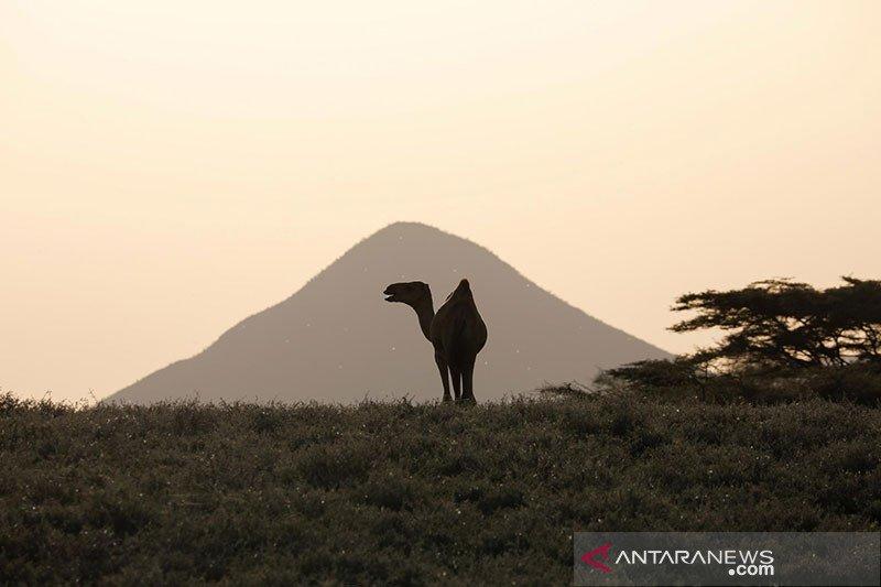 Kenya: Jenis virus corona baru sebabkan ratusan unta mati