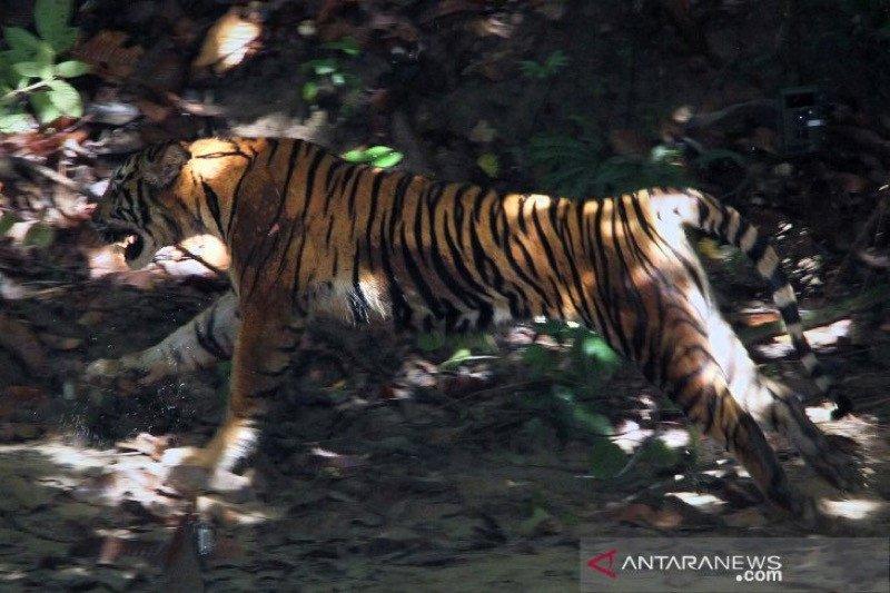 Harimau mangsa sapi di Aceh Tengah