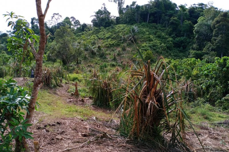 Pulahan gajah liar obrak-abrik kebun warga di Aceh Jaya