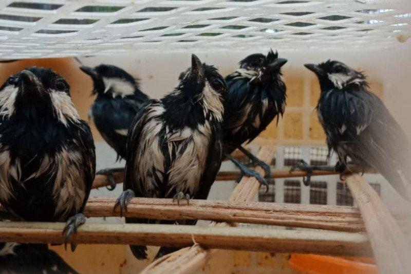 Petugas gagalkan aksi penyelundupan 2.960 burung liar antardaerah